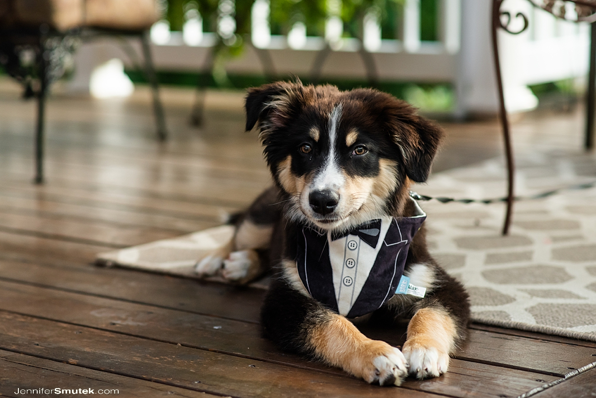 puppy wearing a tuxedo for a backyard wedding in maryland